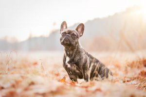 Französische Bulldogge - Hundefotografie und Tierfotografie in Potsdam und Berlin - Sophia Zoike Photography
