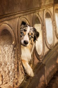 Australian Shepherd, blue merle - Hundefotografie und Tierfotografie in Potsdam und Berlin - Sophia Zoike Photography