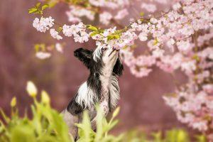 Chinese Crested, Chinesischer Schopfhund, Nackthund, Kirschblüte - Hundefotografie und Tierfotografie in Potsdam und Berlin - Sophia Zoike Photography
