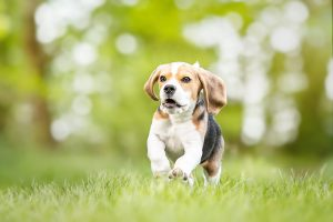 Beagle Welpe - Hundefotografie und Tierfotografie in Potsdam und Berlin - Sophia Zoike Photography