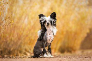 Chinese Crested, Chinesischer Schopfhund, Nackthund - Hundefotografie und Tierfotografie in Potsdam und Berlin - Sophia Zoike Photography