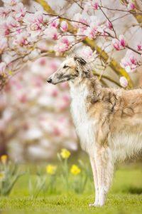 Barsoi, Magnolie - Hundefotografie und Tierfotografie in Potsdam und Berlin - Sophia Zoike Photography
