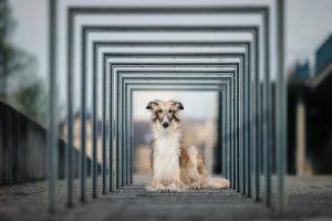 Barsoi, Stadtshooting - Hundefotografie und Tierfotografie in Potsdam und Berlin - Sophia Zoike Photography