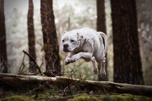 American Bullterrier - Hundefotografie und Tierfotografie in Potsdam und Berlin - Sophia Zoike Photography
