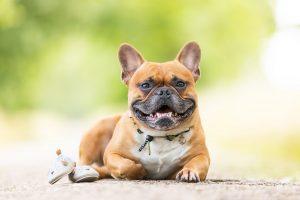 Französische Bulldogge, Babybauchshooting mit Hund, Babybauch - Hundefotografie und Tierfotografie in Potsdam und Berlin - Sophia Zoike Photography