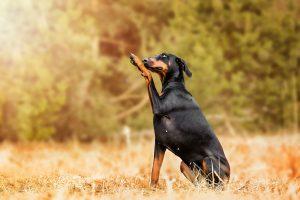 Dobermann - Hundefotografie und Tierfotografie in Potsdam und Berlin - Sophia Zoike Photography