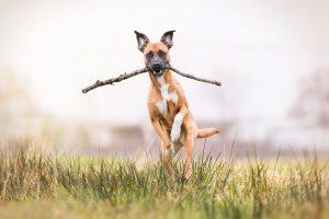 Staffordshire Terrier, Labador, Mischling - Hundefotografie und Tierfotografie in Potsdam und Berlin - Sophia Zoike Photography