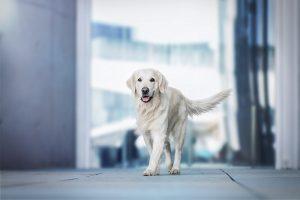 Golden Retriever, Stadtshooting - Hundefotografie und Tierfotografie in Potsdam und Berlin - Sophia Zoike Photography