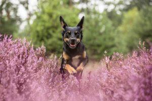 Working Kelpie Australian Shepherd - Hundefotografie und Tierfotografie in Potsdam und Berlin - Sophia Zoike Photography
