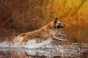 Malinois, Belgischer Schäferhund, Wasser, Actionshoot - Hundefotografie, Tierfotografie und Hundesportfotografie in Potsdam - Sophia Zoike Photography