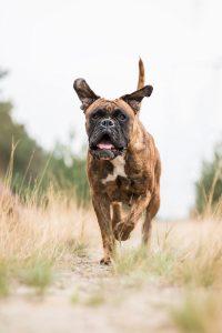 Deutscher Boxer - Hundefotografie und Tierfotografie in Potsdam und Berlin - Sophia Zoike Photography