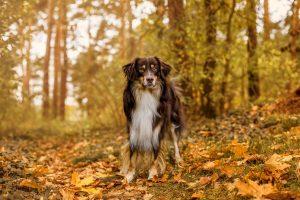 Australian Shepherd - Hundefotografie und Tierfotografie in Potsdam und Berlin von Sophia Zoike Photography