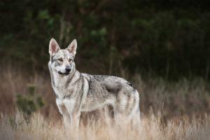 Saarloos Wolfhund - Hundefotografie und Tierfotografie in Potsdam und Berlin - Sophia Zoike Photography