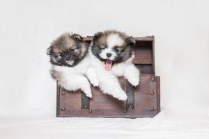 Zwergspitz Pomeranian Welpe - Hundefotografie und Tierfotografie in Potsdam und Berlin - Sophia Zoike Photography