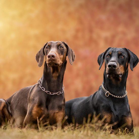 Dobermann - Hundefotografie Potsdam - Sophia Zoike Photography