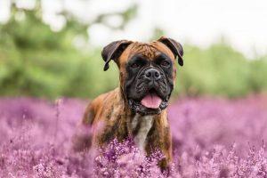 Deutscher Boxer Hundefotografie - Hundefotografie und Tierfotografie in Potsdam und Berlin - Sophia Zoike Photography