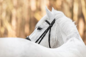 Simon Haflingermix - Pferdefotografie, Tierfotografie in Potsdam und Berlin - Sophia Zoike Photography