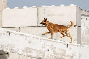 Malinois, Belgischer Schäferhund, Jaleo vom Herrenberger Schloss, Rettungshund, Trümmersuche, Hundesport - Hundefotografie, Hundesportfotografie Tierfotografie in Potsdam und Berlin - Sophia Zoike Photography