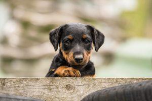 Deutscher Jagdterrier Welpe Rettungshund - Hundefotografie, Hundesportfotografie, Tierfotografie in Potsdam und Berlin - Sophia Zoike Photography