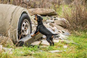 Deutscher Jagdterrier Welpe Rettungshund - Hundefotografie, Hundesportfotografie und Tierfotografie in Potsdam und Berlin - Sophia Zoike Photography