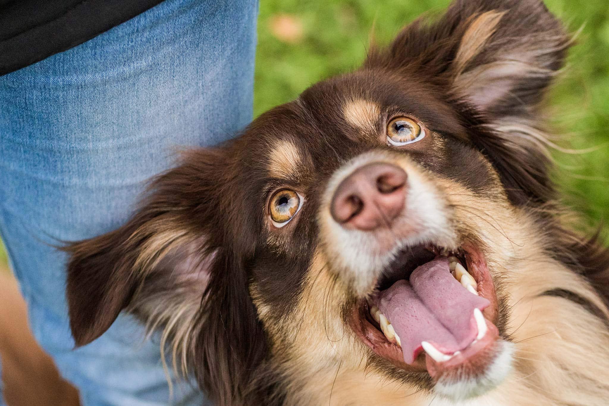 Australian Shepherd, Rettungshund - Hundefotografie und Tierfotografie in Potsdam von Sophia Zoike Photography
