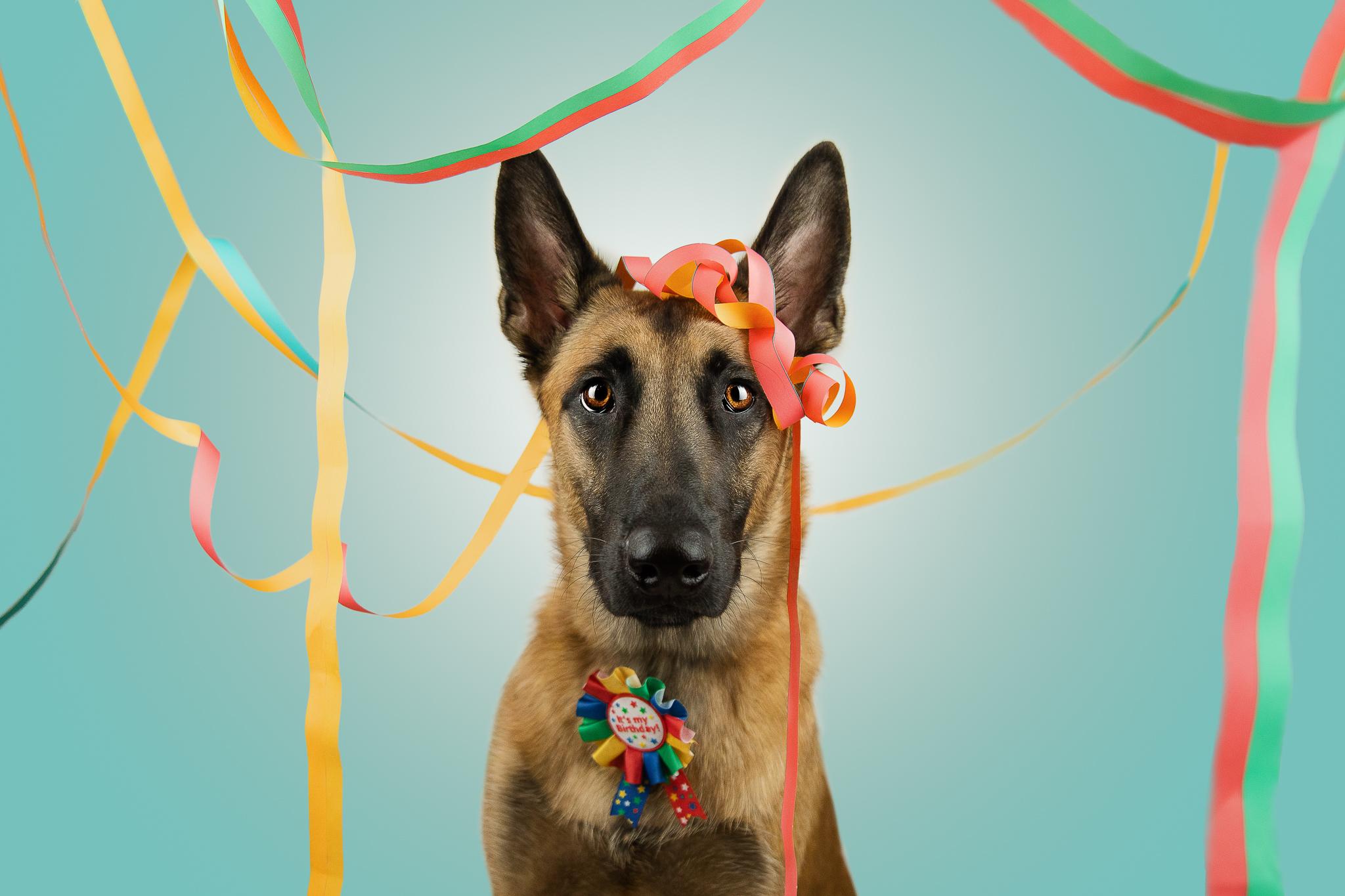 Malinois von den Heilstätten, Gebrauchshund, Saka, Billy the Kid von den Heilstätten, Belgischer Schäferhund, Hundefotografie, Hund, Geburtstag, Geburtstagshund