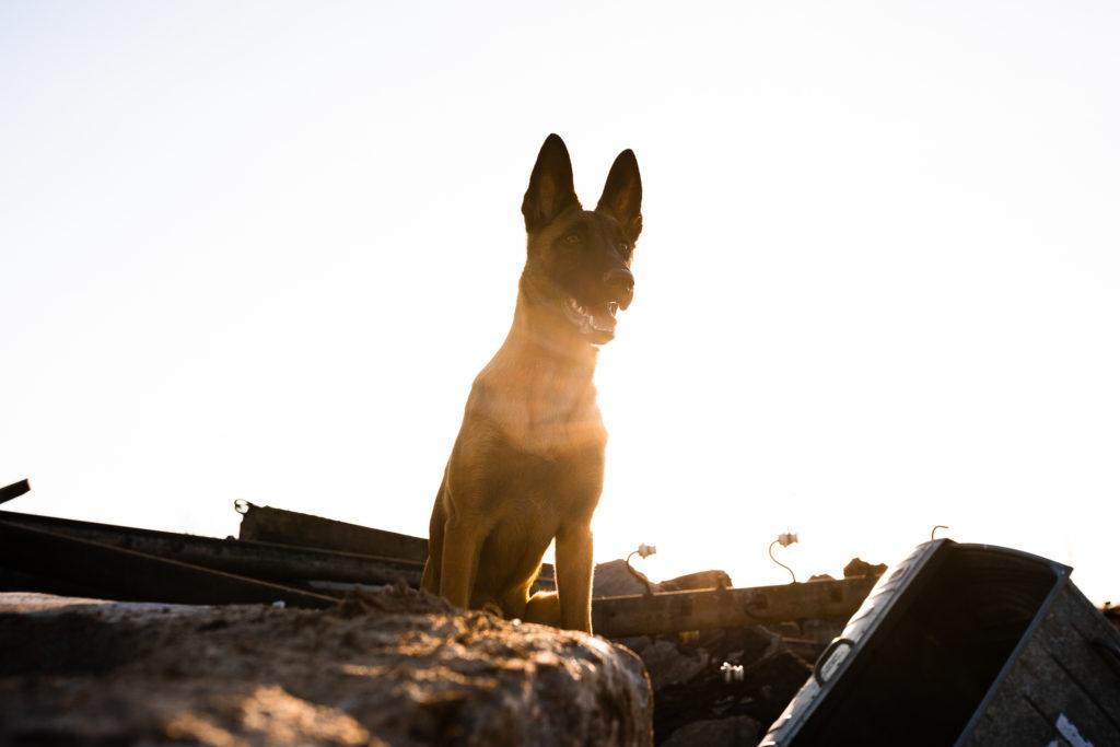 Malinois von den Heilstätten, Gebrauchshund, Saka, Billy the Kid von den Heilstätten, Belgischer Schäferhund, Hundefotografie, Hund, Welpe, Rettungshund, Trümmersuche, Brandenburg, Berlin