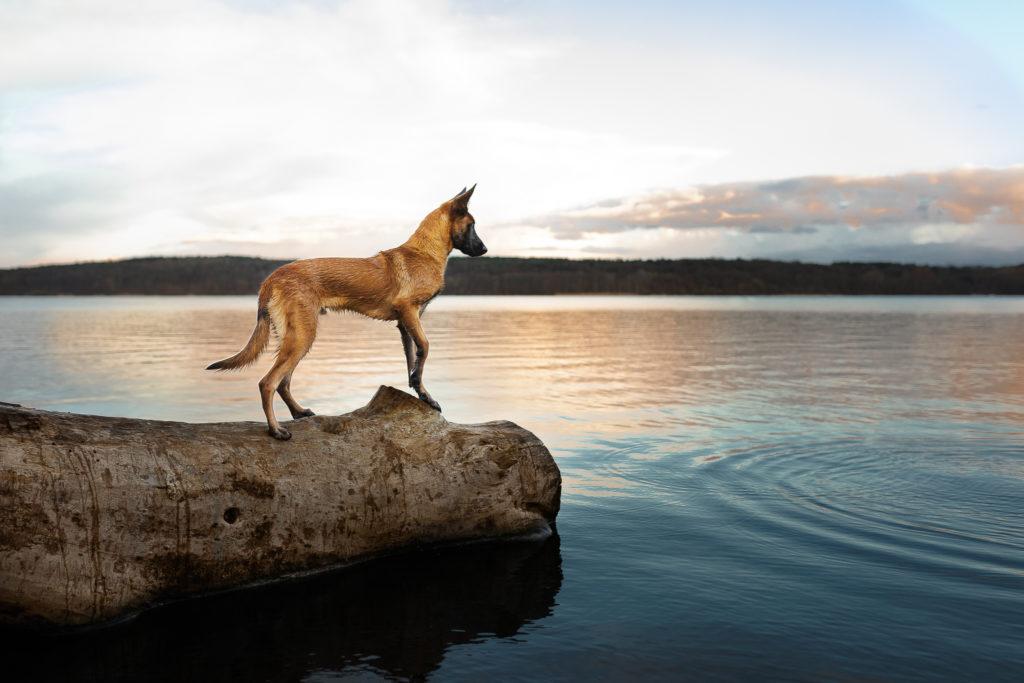 Malinois von den Heilstätten, Gebrauchshund, Saka, Billy the Kid von den Heilstätten, Belgischer Schäferhund, Hundefotografie, Hund, Sonnenuntergang, Wasser