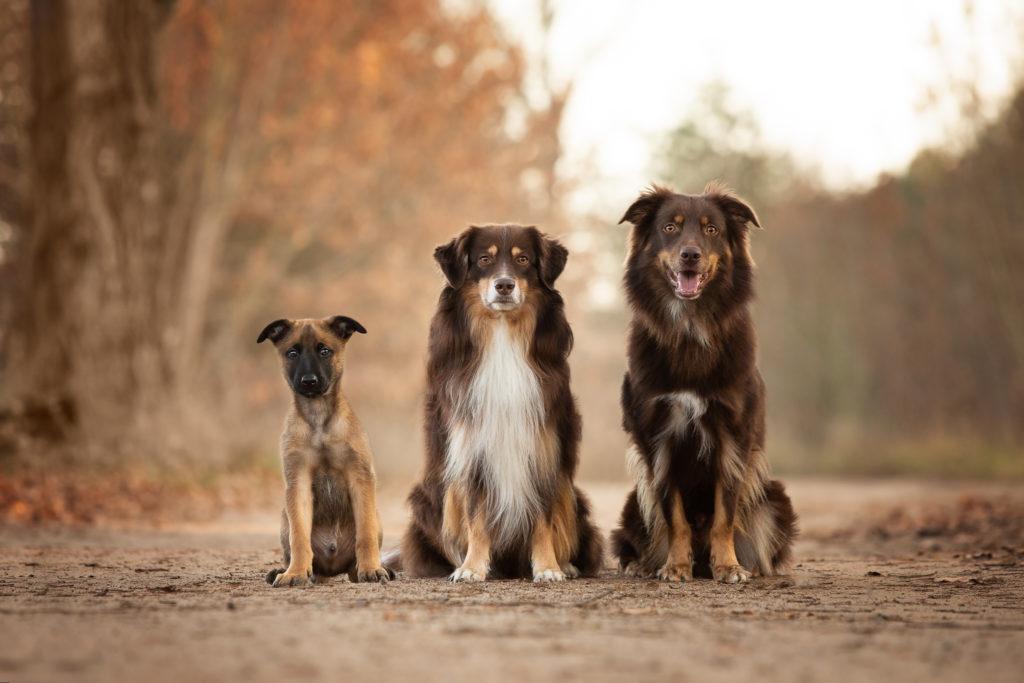 Malinois von den Heilstätten, Gebrauchshund, Saka, Billy the Kid von den Heilstätten, Belgischer Schäferhund, Hundefotografie, Hund, Welpe
