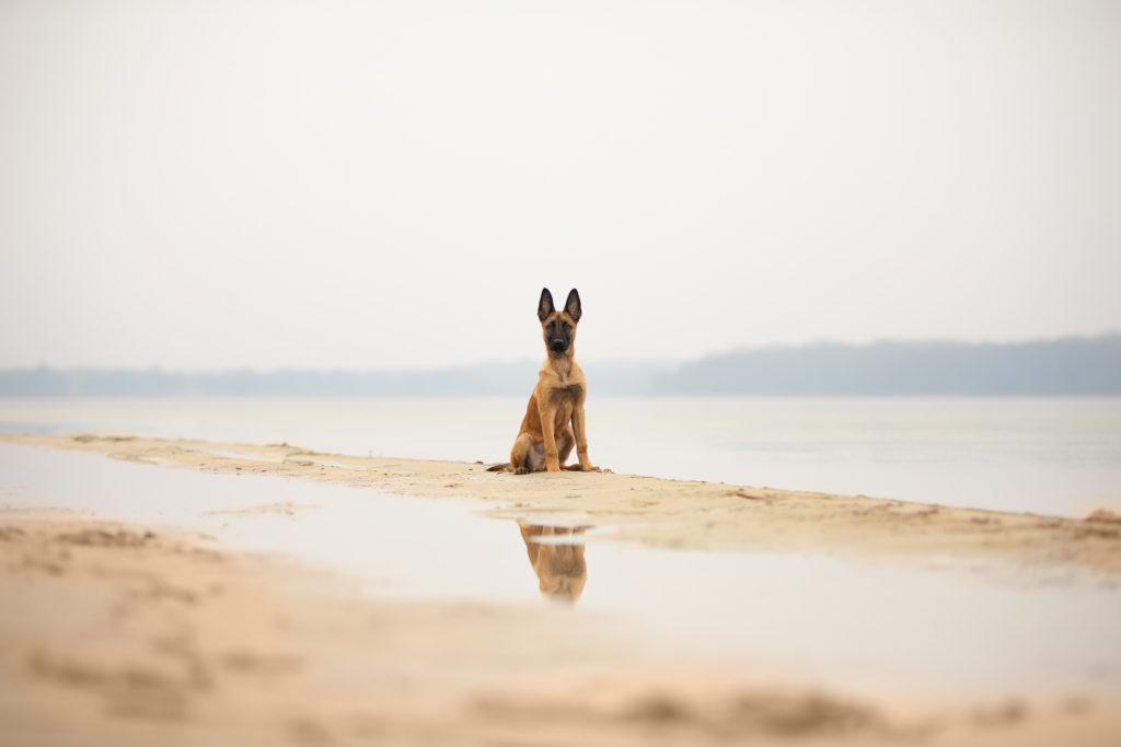 Malinois von den Heilstätten, Gebrauchshund, Saka, Billy the Kid von den Heilstätten, Belgischer Schäferhund, Hundefotografie, Hund, Rettungshund, Rettungshundesport